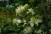 fleursvosges012