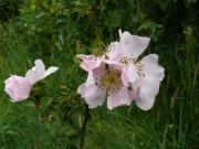 fleursvosges020