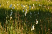 fleursvosges037