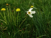 fleursvosges046