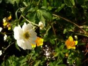 fleursvosges058
