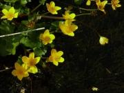 fleursvosges063