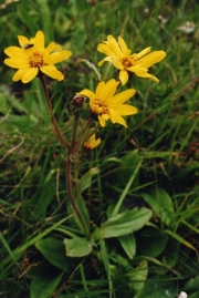 fleursvosges001