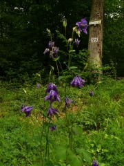 fleursvosges002