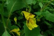 fleursvosges007