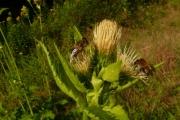 fleursvosges010