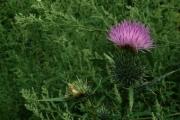 fleursvosges011