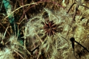 fleursvosges013