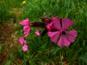 fleursvosges014