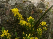 fleursvosges028