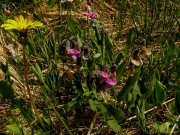 fleursvosges059