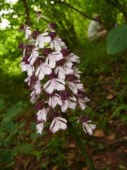 fleursvosges060