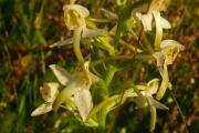 fleursvosges062