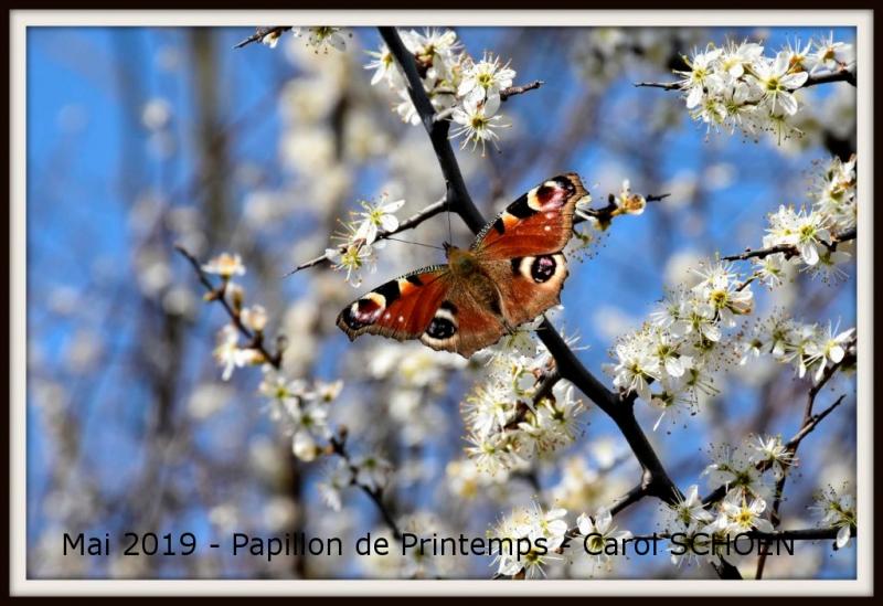 2019_05_Papillon_Carol-Schoen
