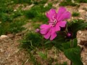 fleursvosges015