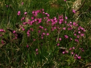 fleursvosges016