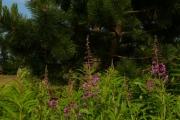 fleursvosges023