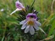 fleursvosges026