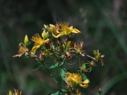 fleursvosges043