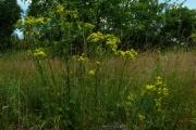 fleursvosges065