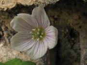 fleursvosges066