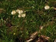 fleursvosges068