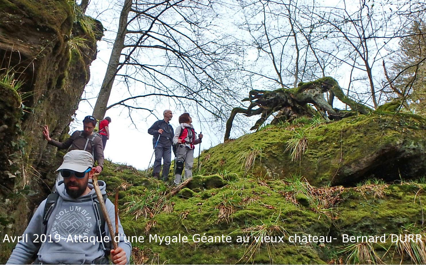 Avril 2019-Une Mygale Géante-Bernard DURR